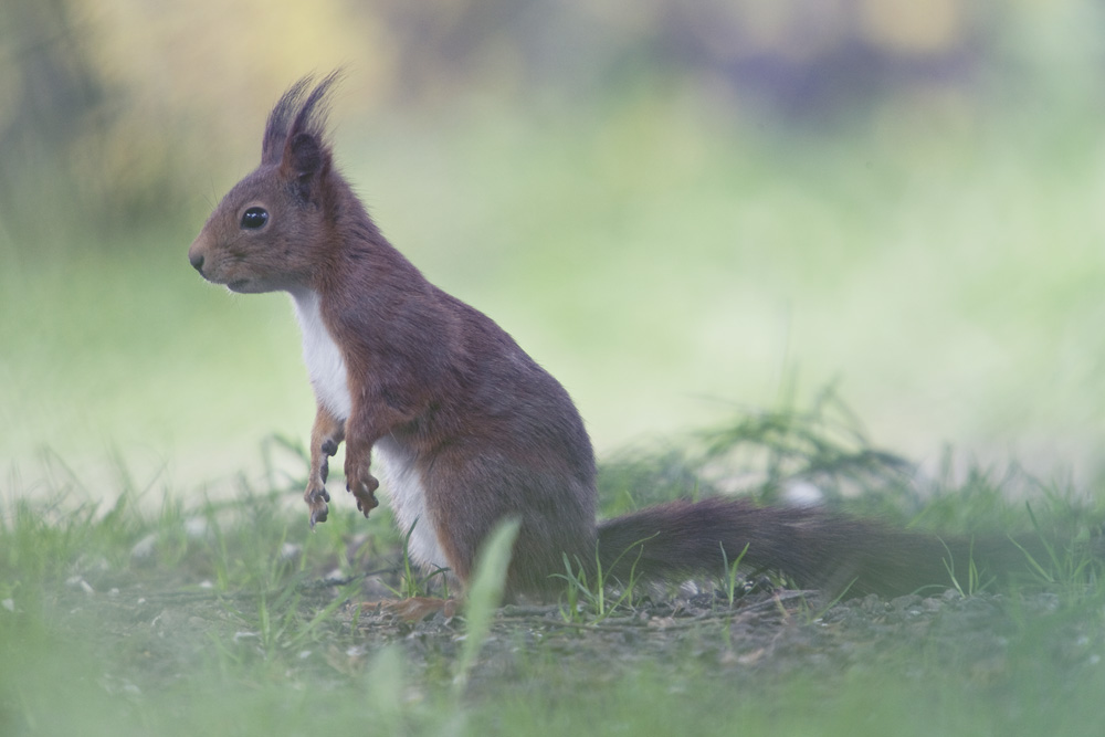 12_fauna red squirrel