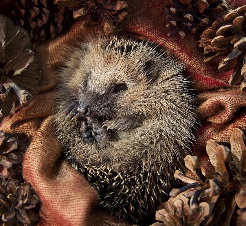 16_fauna hedgehog