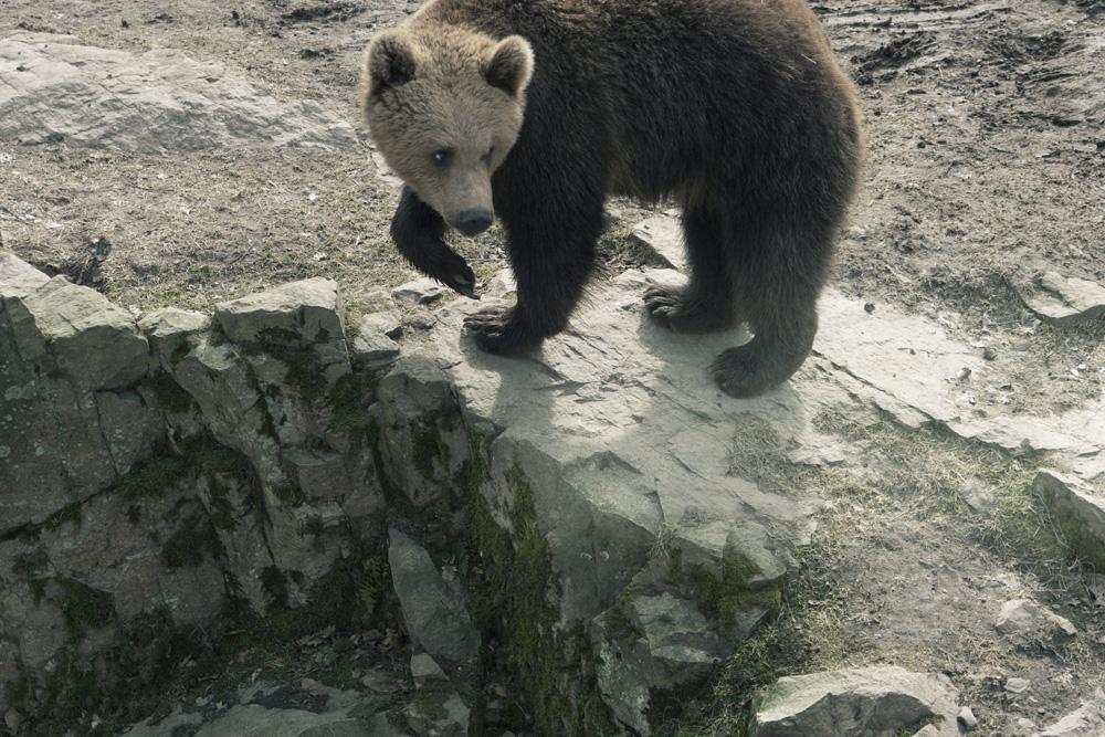 bear_fauna_ulrika_kestere